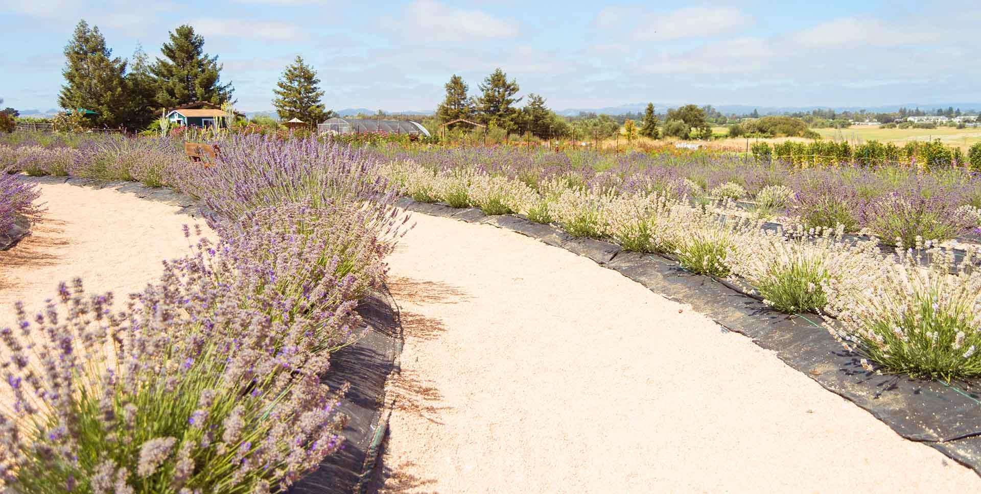 s lavender