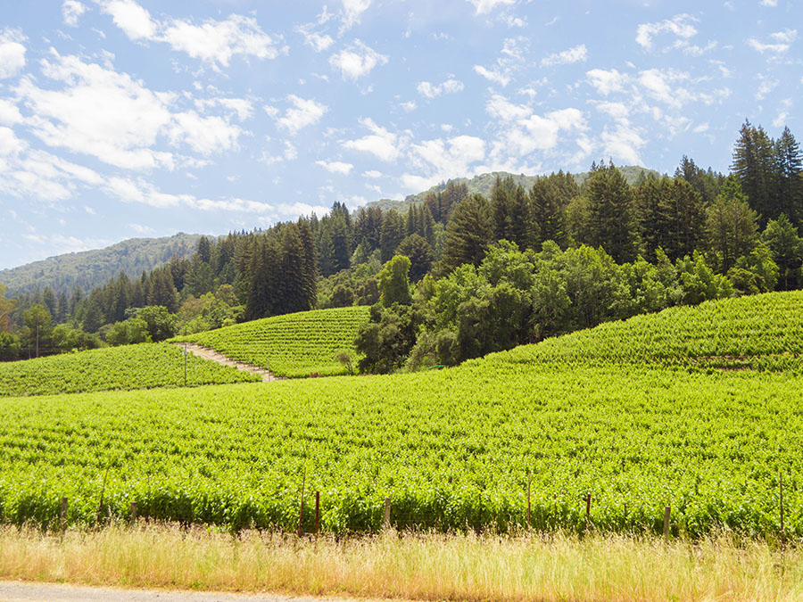 Rolling hills of green vines on a sunny day