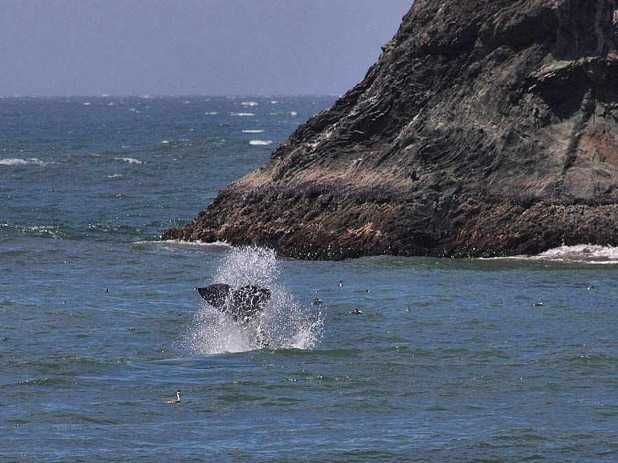 A whale splashes in the ocean off of the Sonoma Coast, Sonoma County