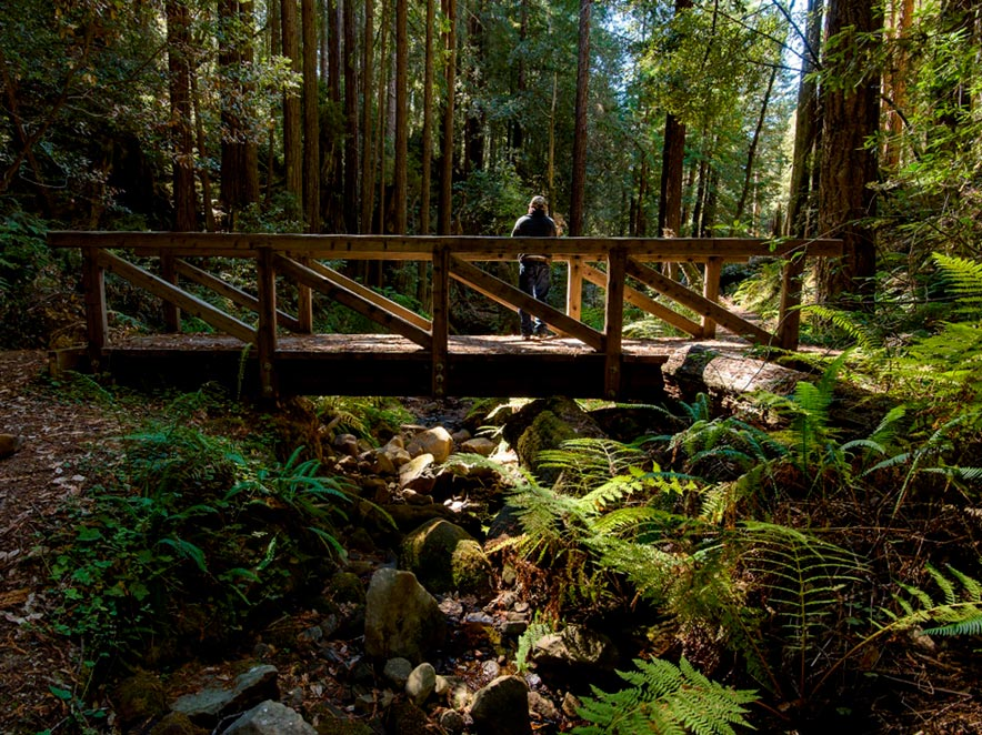 A person stands on a bridge surrounded by ferns at Kruse Rhododendron State Reserve
