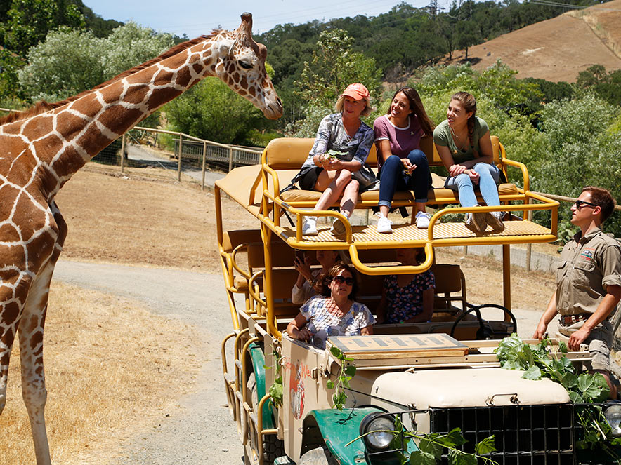 giraffe and guests at Safari West in Sonoma County
