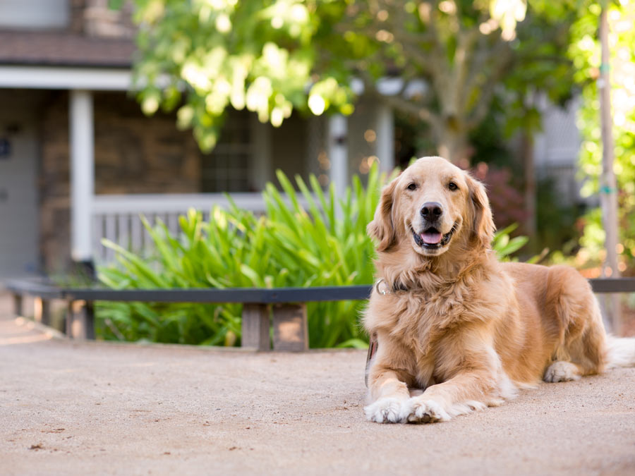 A golden retriever sits outside of the Olea Hotel, Glen Ellen