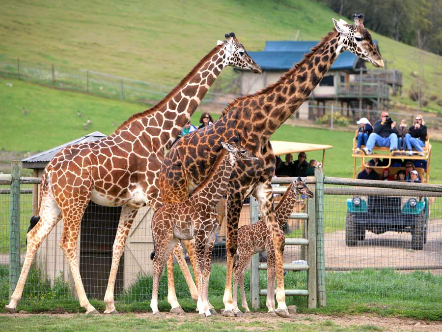 People in an open safari jeep get a close up view of giraffes at Safari West Wildlife Preserve & African Tent Camp, Santa Rosa