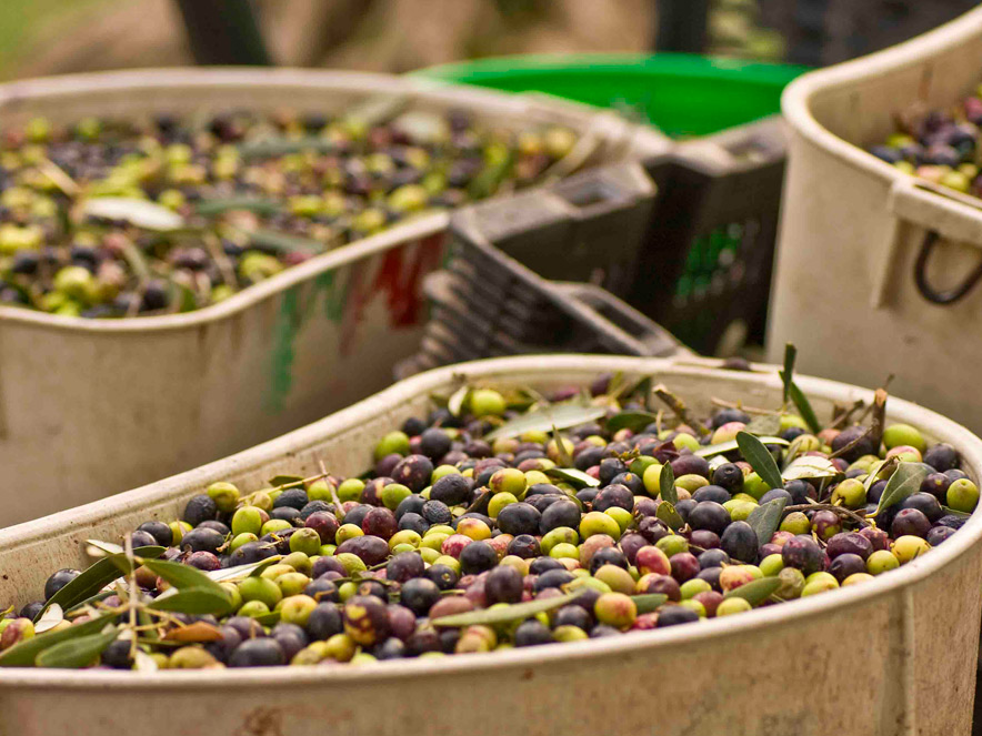 basket of olives harvested in Sonoma County