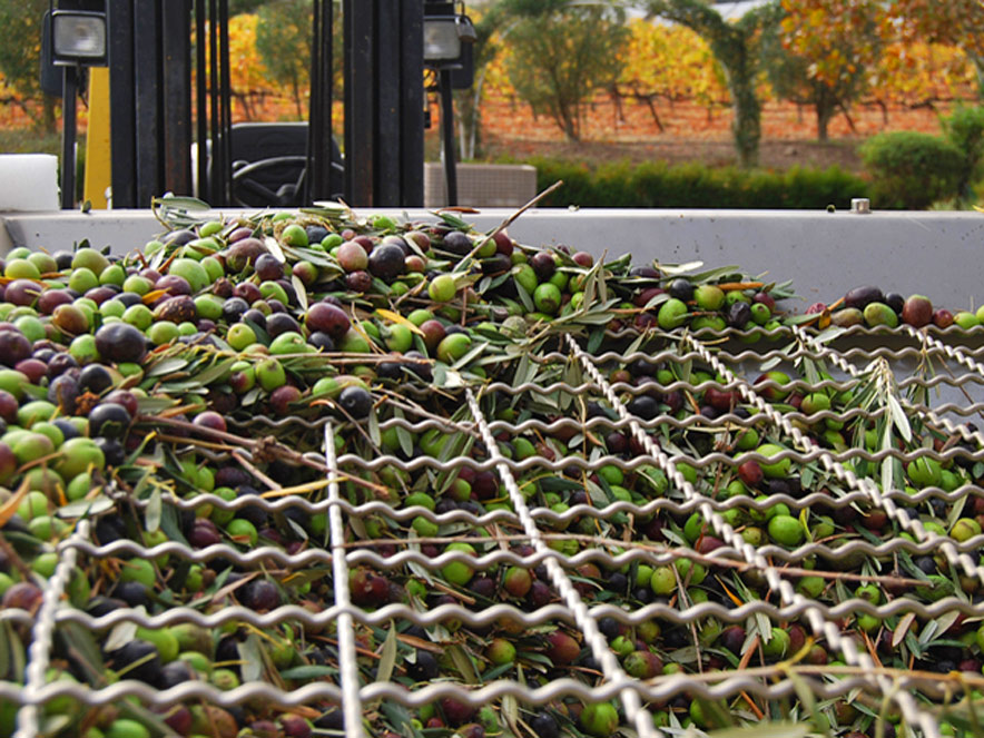 Bins of olives ready to be pressed