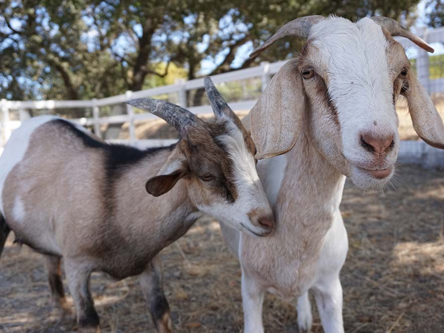 two goats at charlie's acres animal sanctuary