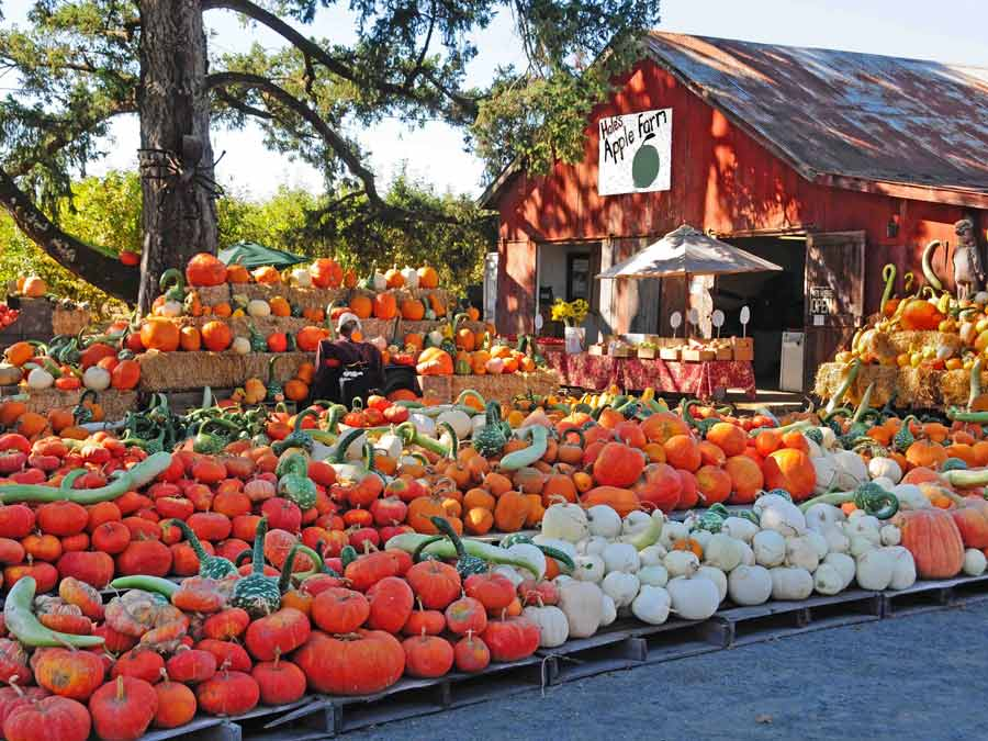 Hundreds of pumpkins on display at Hale's Apple Farm, Sebastopol