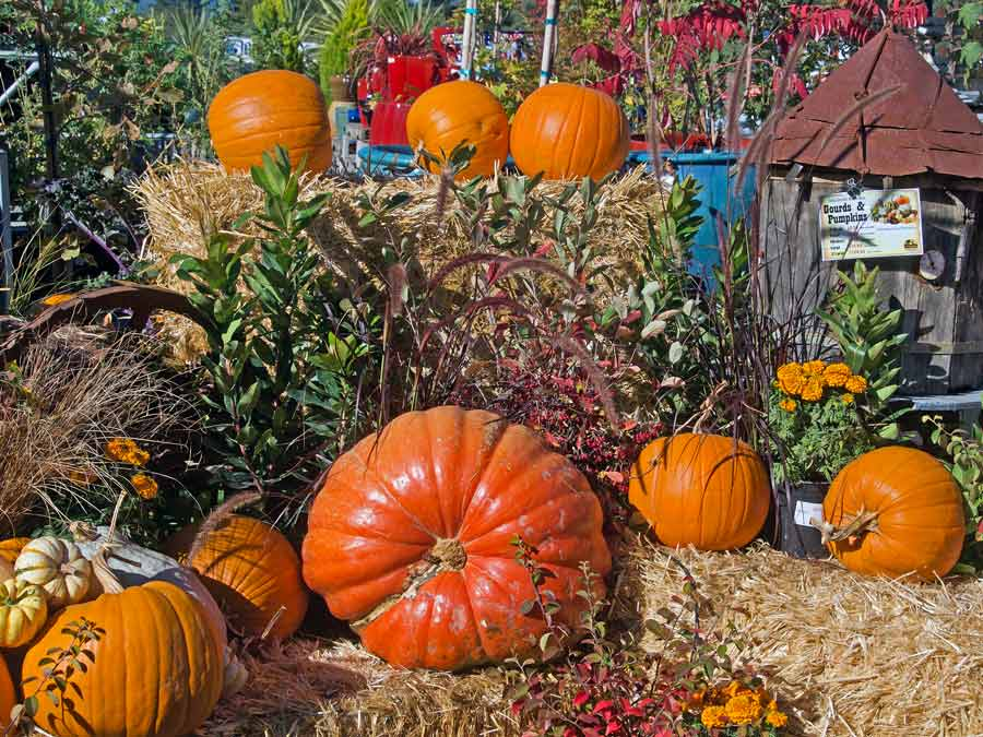 Pumpkins sit in front of a hay barrel