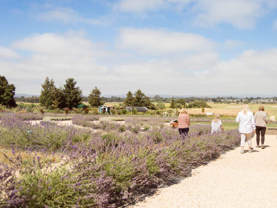 People walk through a lavender labyrinth at Bees N Blooms