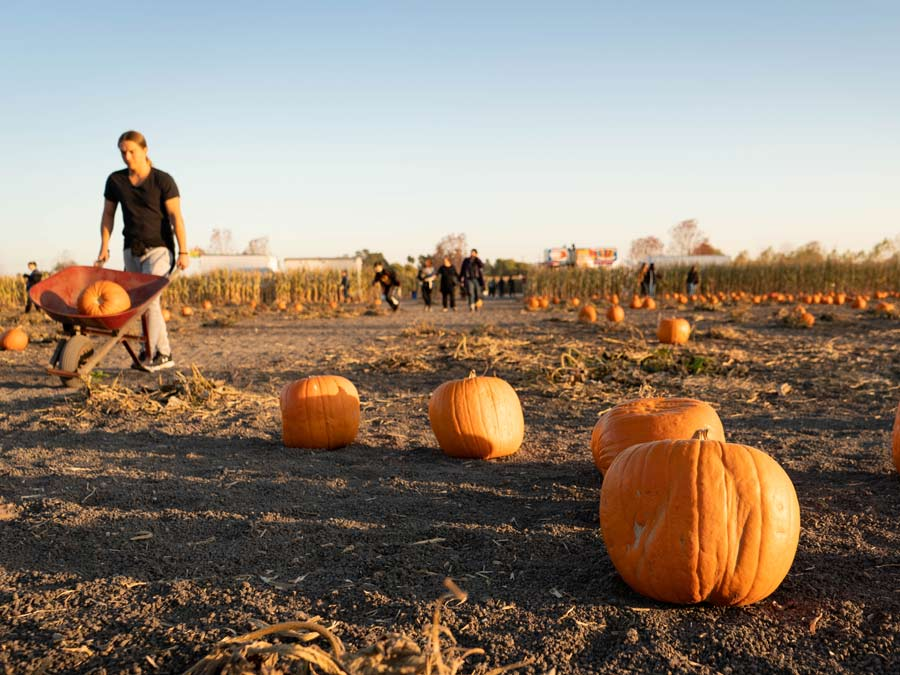 A person pushed a wheel barrow full of pumpkins through a field of other pumpkins to choose from
