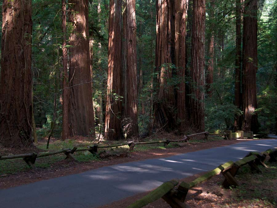 A path winds through the trees at Armstrong Redwoods State Natural Reserve, Sonoma County