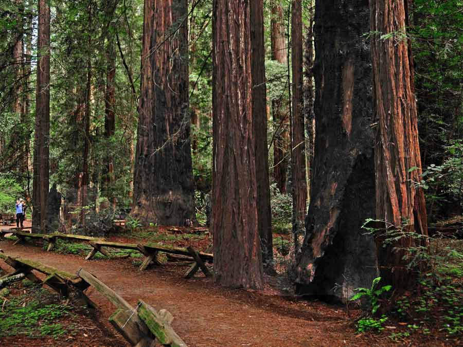 A path winds around the majestic California redwoods at Armstrong Redwoods State Natural Reserve, Guerneville