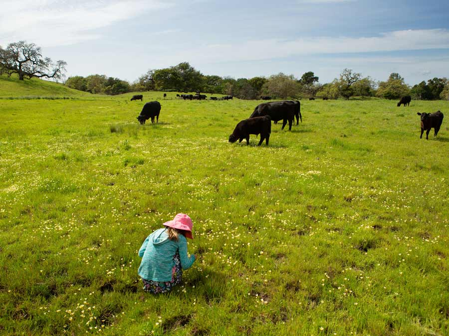 A young girl looks at wildflowers with cows nearby at Crane Creek Regional Park, Sonoma County