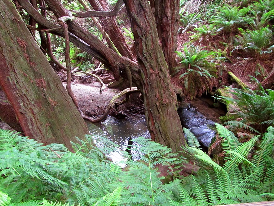Ferns grow over a creek at Gualala Point Regional Park