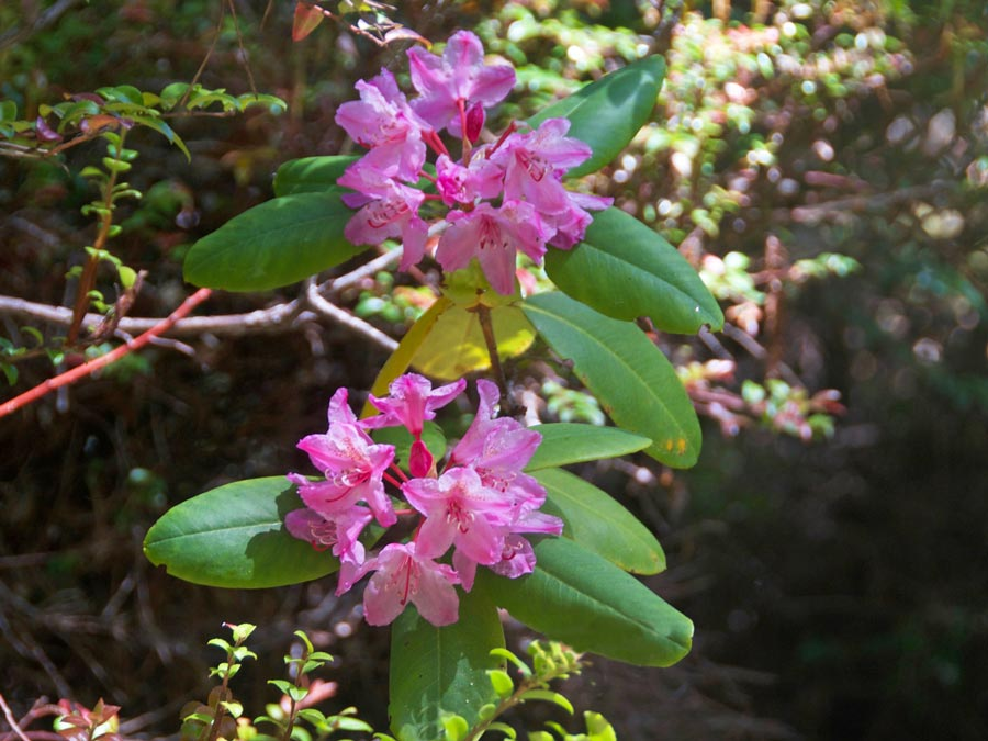 Bright pink flowers bloom at Kruse Rhododendron State Natural Reserve in Sonoma County