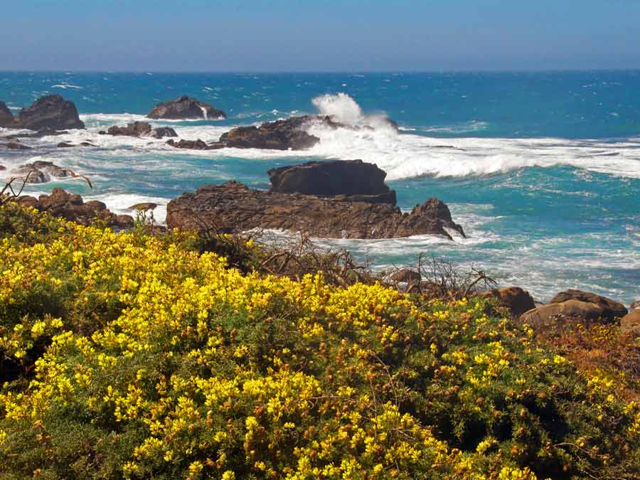 Yellow wildflowers grow along the Sonoma coastline at Salt Point State Park