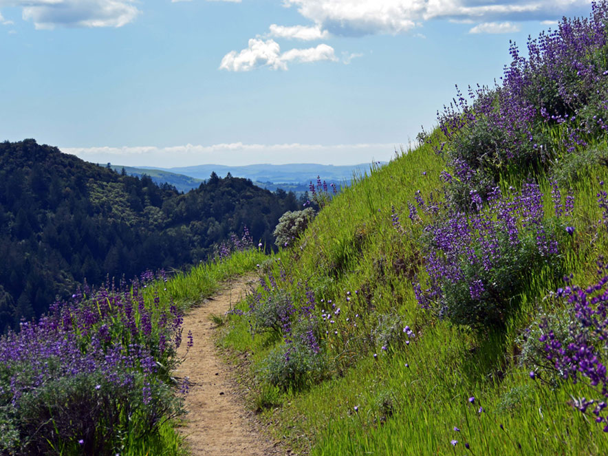 A path on a mountain leads through lupine overlooking a valley below