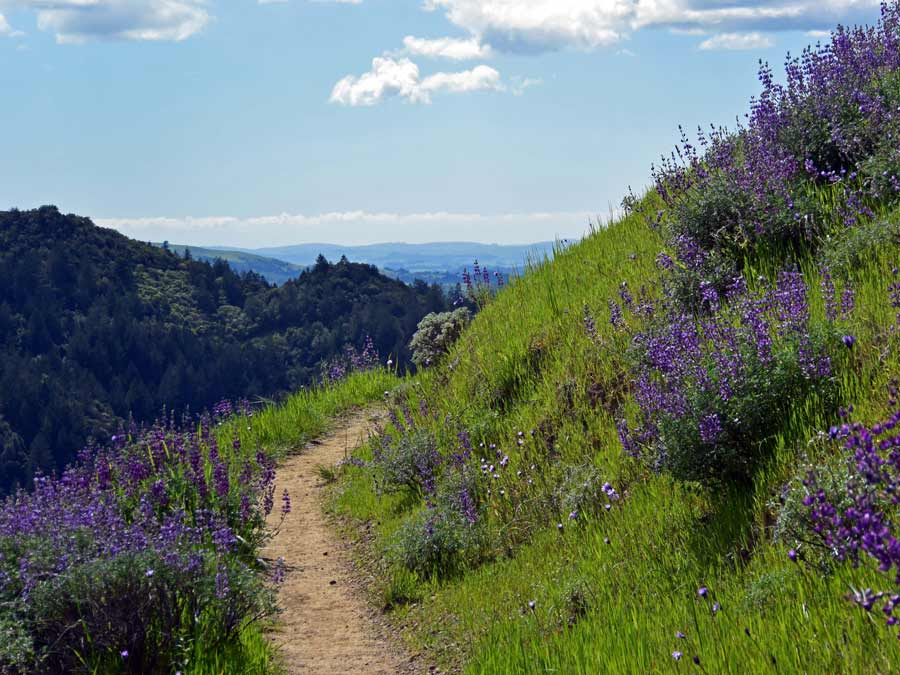 A trail along the edge of a hill is surrounded by wildflowers in Sonoma County