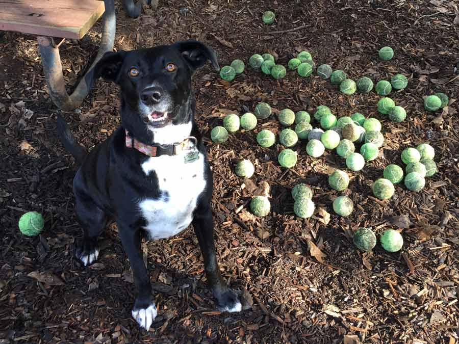 A dog enjoys the multitude of tennis balls at the dog park at the Villa Chanticleer, Healdsburg