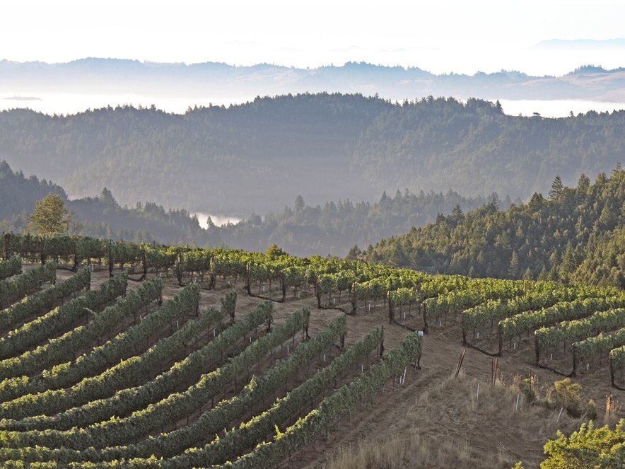 Green, rolling hills of vines are shrouded by fog in Sonoma County