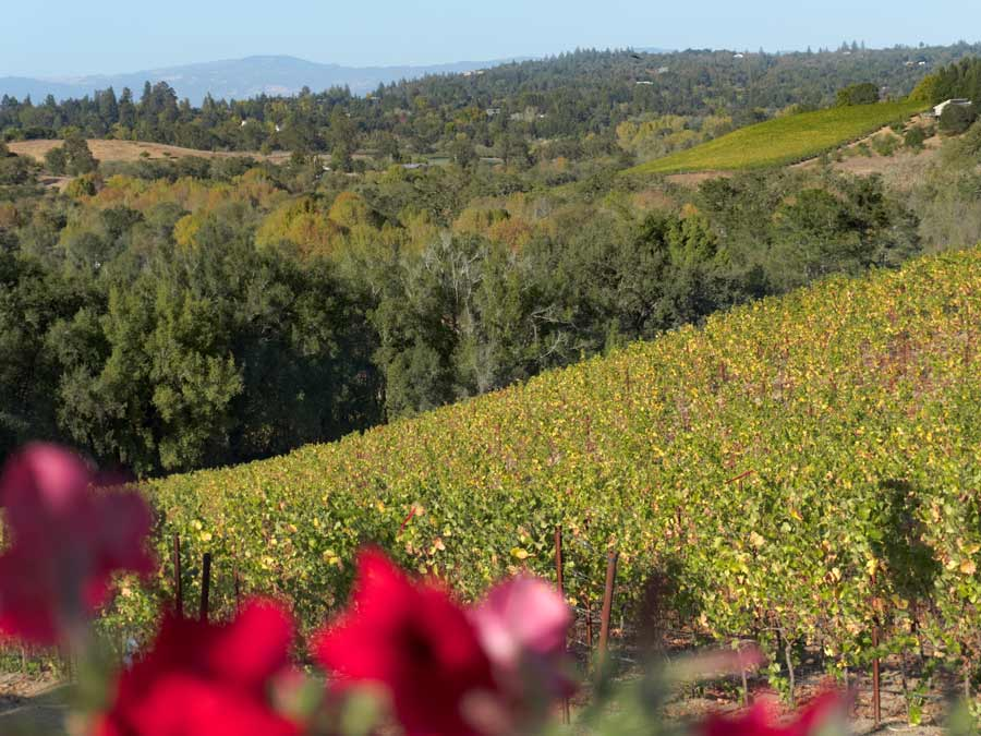 Red flowers bloom in front of a hill of green vineyards in the summer in Sonoma County