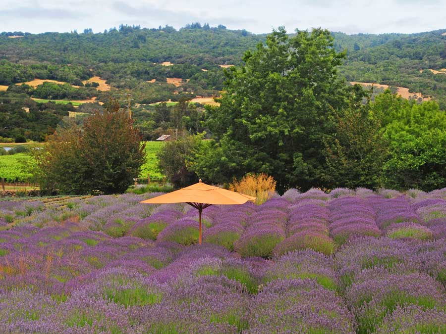 June is Lavender Month in Sonoma Wine Country | SonomaCounty com