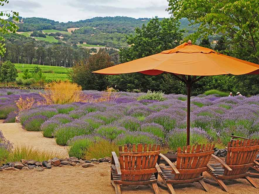 Two chairs are covered by an orange shade umbrella and surrounded by blooming lavender