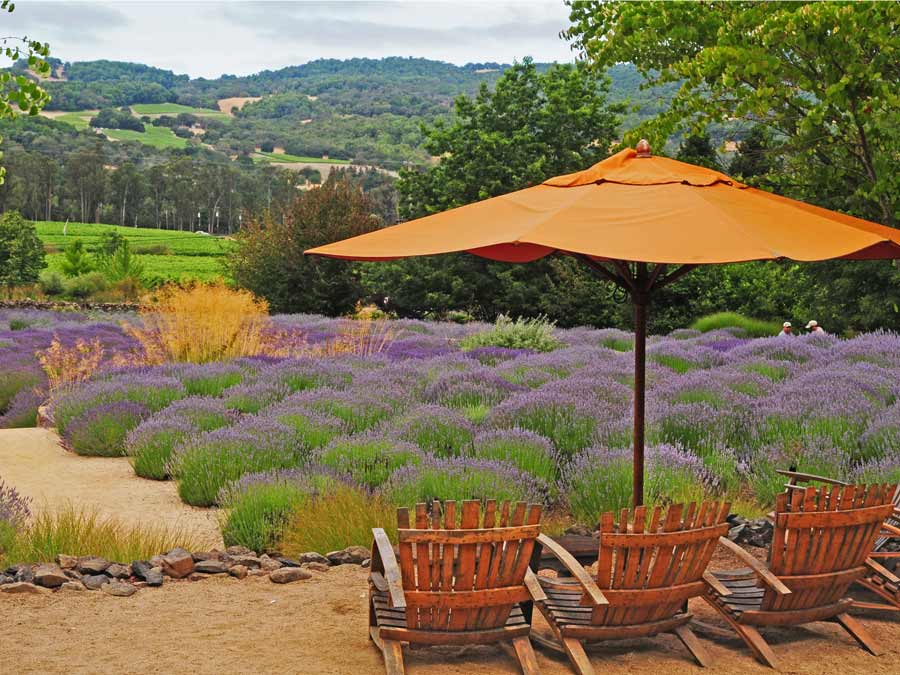 A set of chairs with an umbrella overlook fields of lavender at Matanzas Creek Winery, Santa Rosa