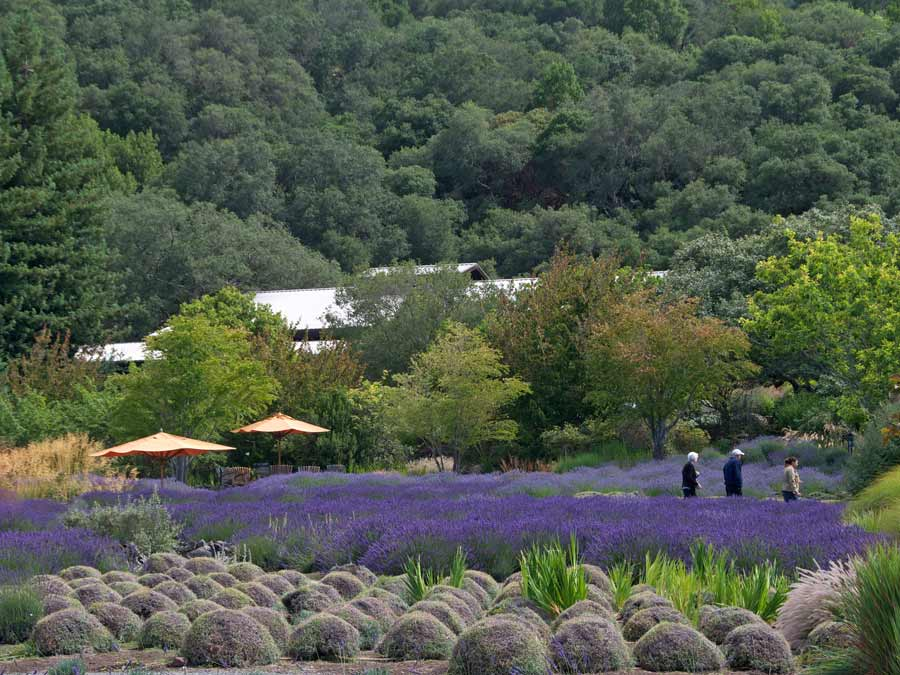 People walk in a field of lavender at Matanzas Creek Winery, Sonoma County