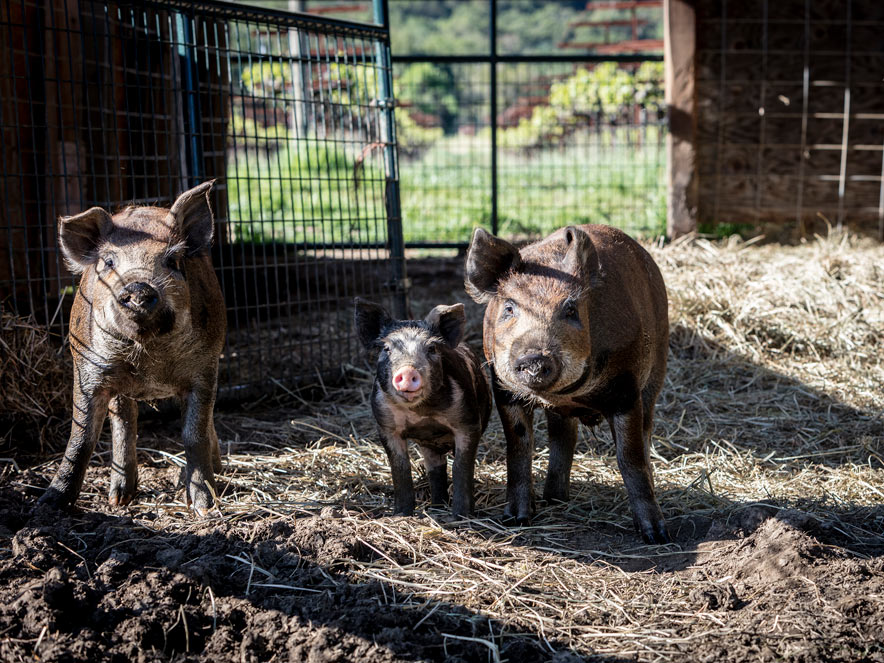pigs at Quivira in Sonoma County