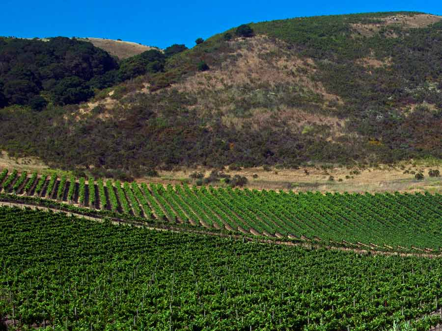 The verdant sea of vines at Schug Carneros Estate Winery, Sonoma