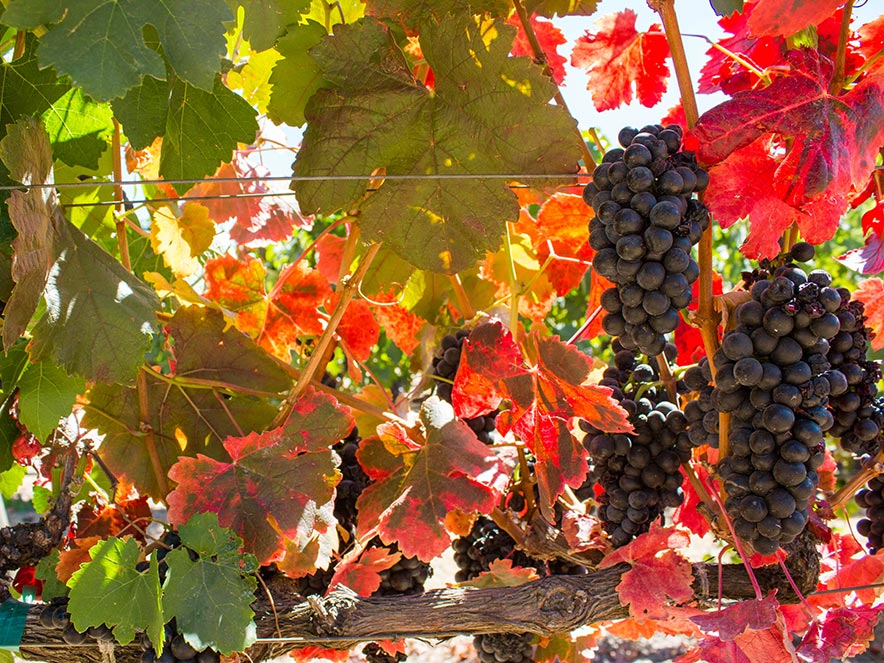 Zinfandel grapes hang on a vine with red-orange leaves in Dry Creek Valley, Sonoma County