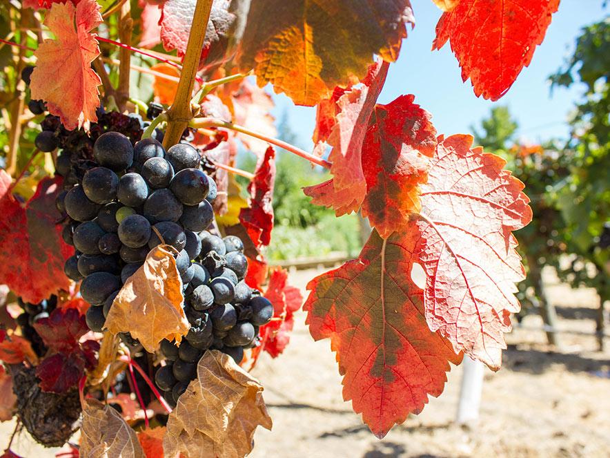 Visit Wine Country at Peak Sweetness