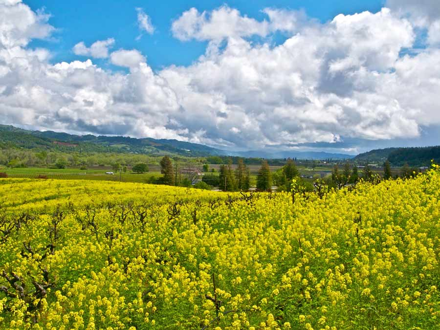 Mustard blooms all over Sonoma County vineyards in early spring