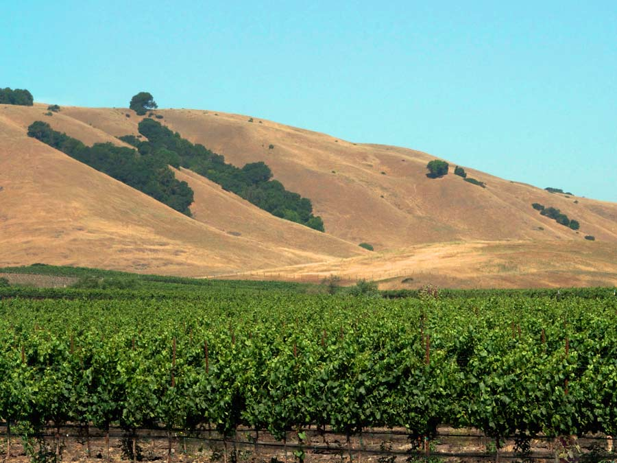 Bright green vineyards line the carneros Valley, surrounded by golden hills and bright blue sky in Sonoma County