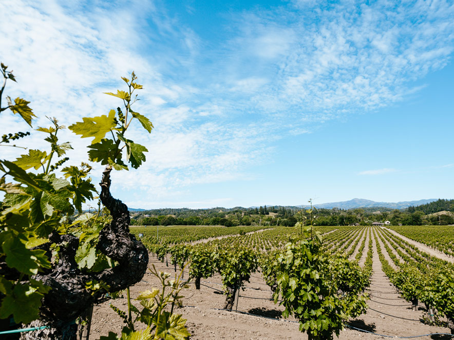 Green, leafy vineyards cover Sonoma County in the summer