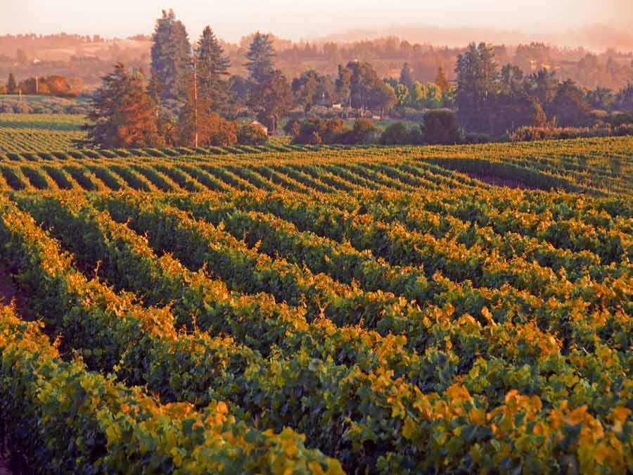 Golden and pink hues in the Emeritus Vineyards at sunset in Sonoma County