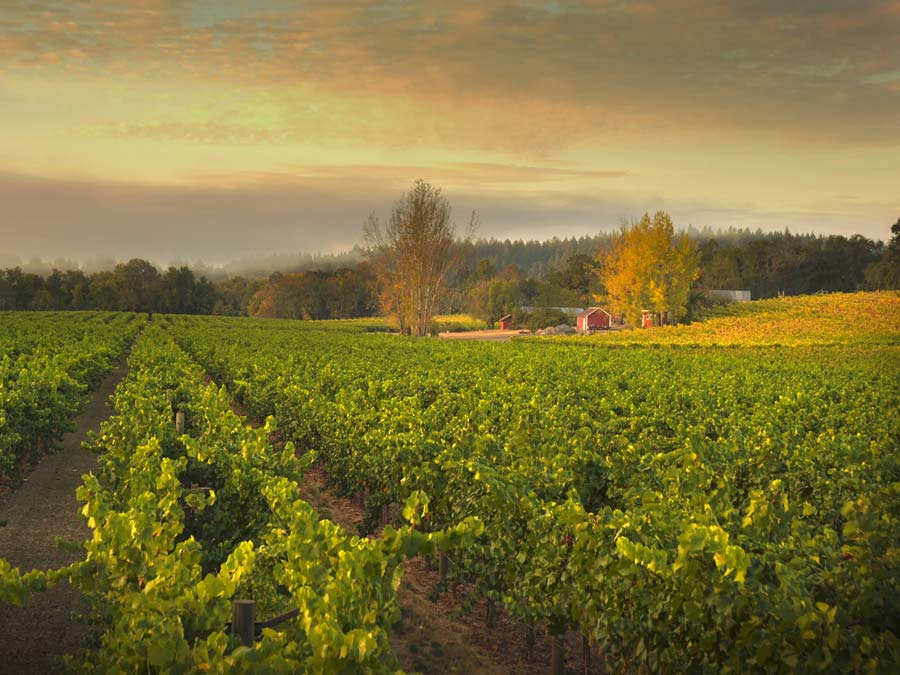 Ramey Wine Cellars' Westside Farms vineyard runs along the bank of the Russian River