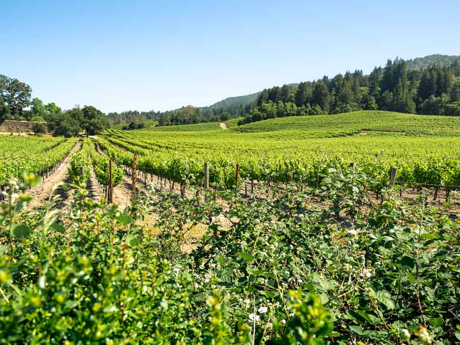 Green rows of vines grow in Sonoma County