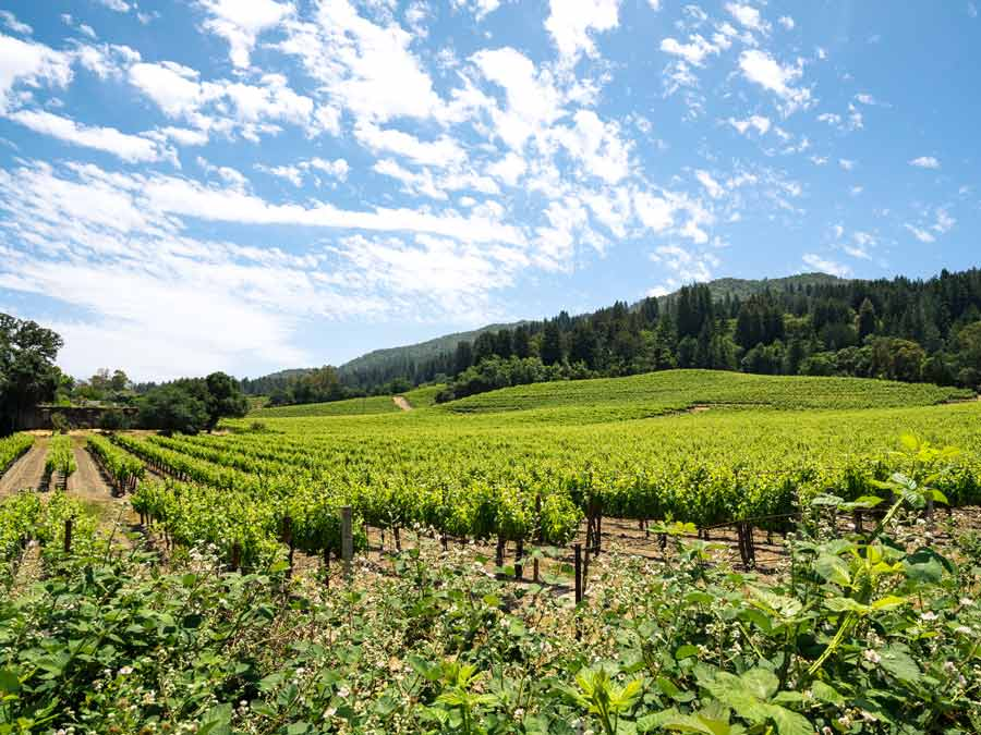 Vineyards in the summer in Sonoma Valley, Sonoma County