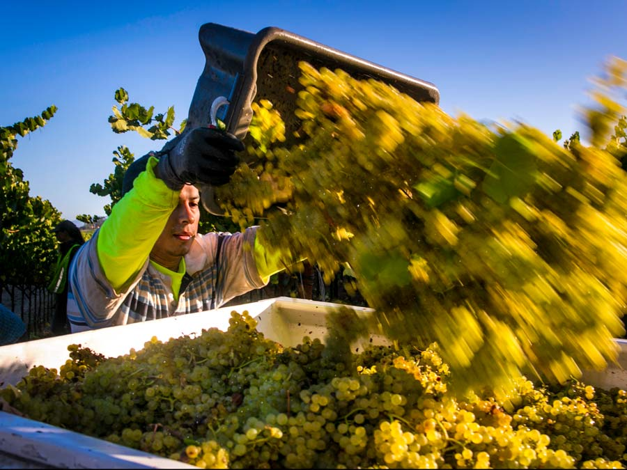 Winegrapes that were just harvested are dumped into a bin in Sonoma County