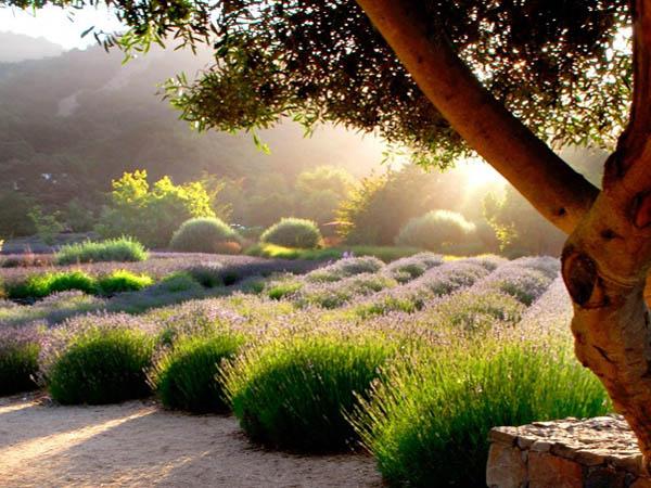 Lavender Harvestat the Monte-Bellaria Farm in California