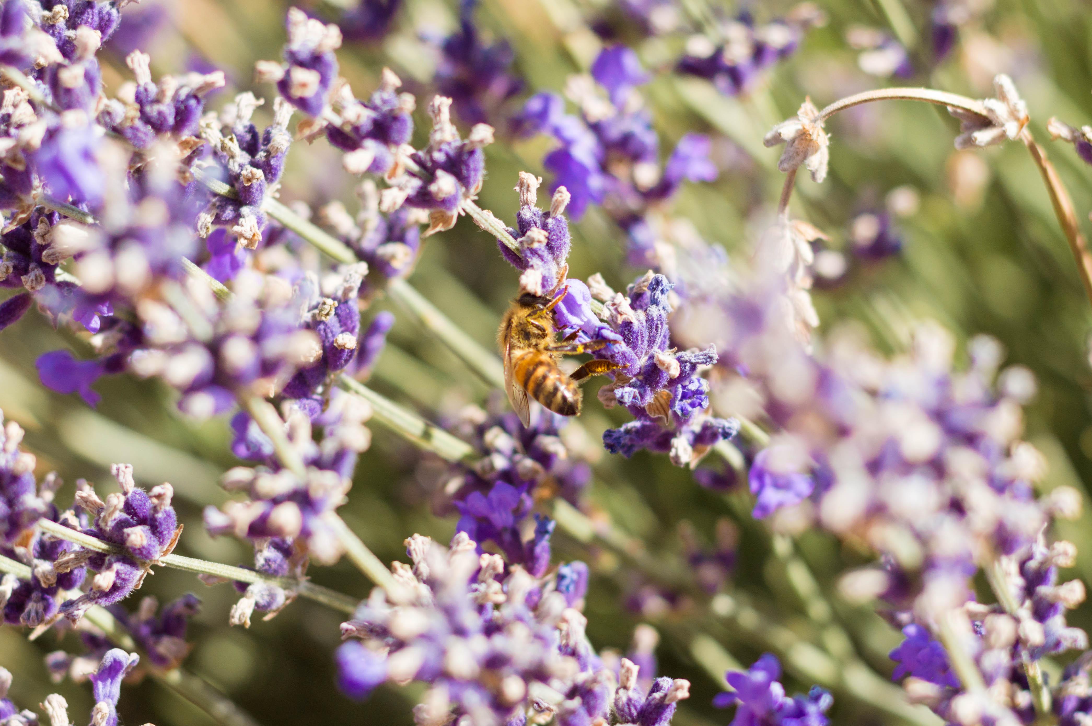 Lavender Labyrinth at Bees N Blooms, Santa Rosa, Sonoma County, California