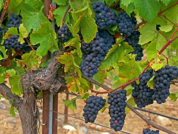 sonoma county wine grapes