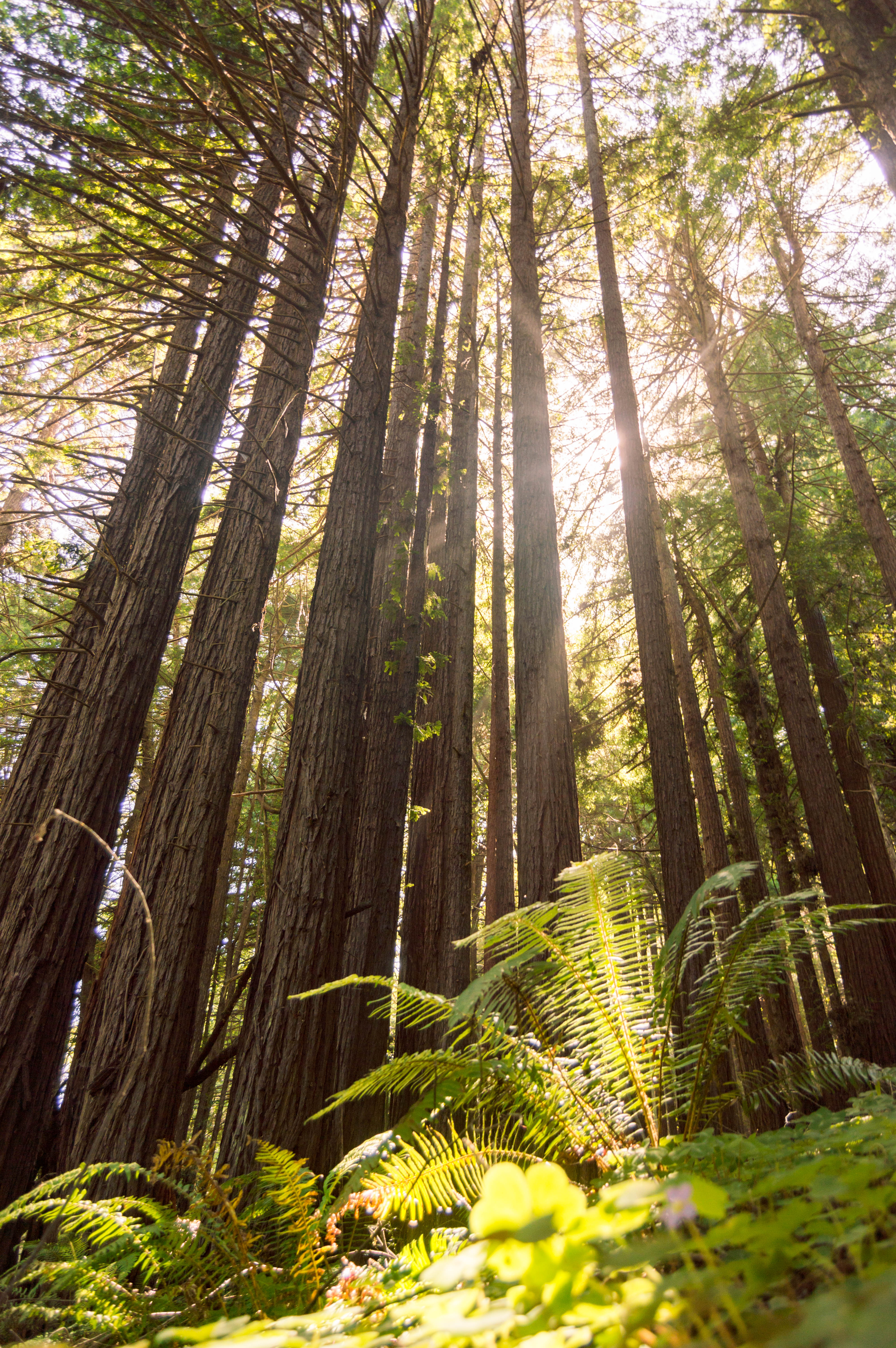 Forest Bathing in the redwoods on the Pomo Canyon Trail, Sonoma County, California