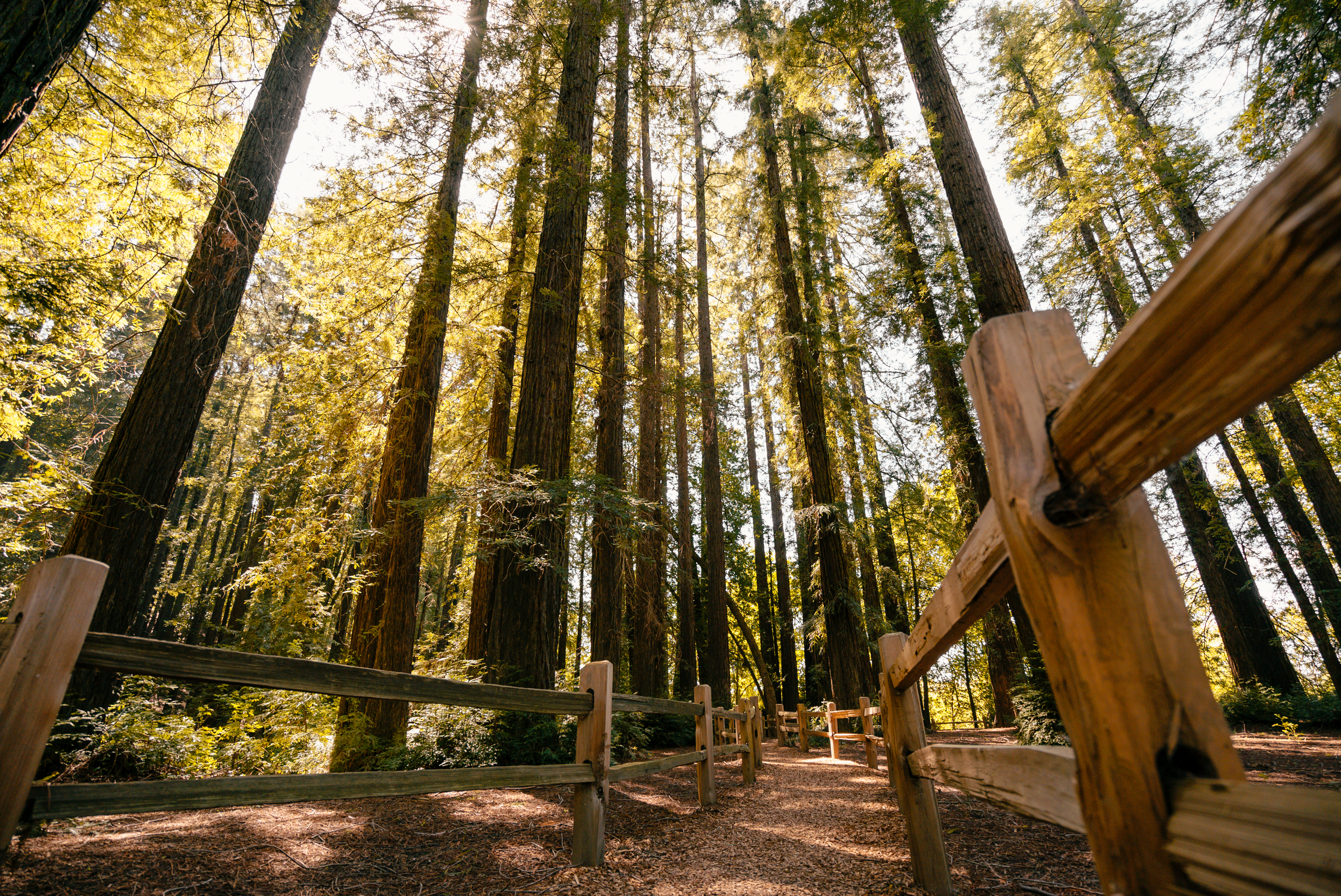 Forest Bathing in the redwoods at Riverfront Regional Park, Sonoma County, California
