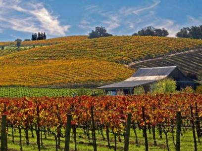 harvest fall vineyards in sonoma county