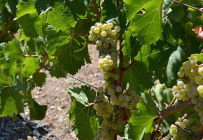 riesling sonoma county
