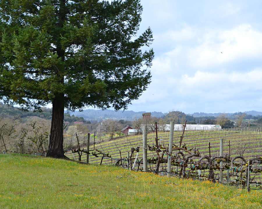 Saralee's Vineyard in Sonoma County