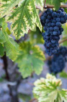 grapes-vineyards-sonoma-county